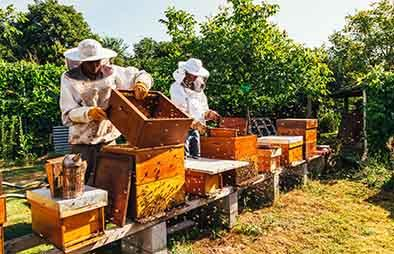 Beekeepers in an apiary